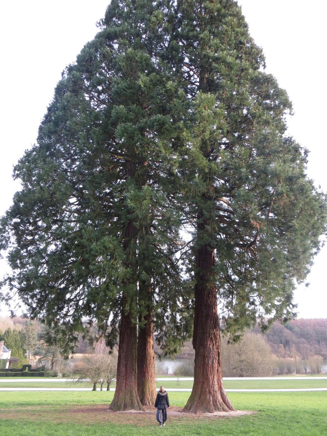 Séquoia - Château de la Hulpe - 24-2-14 (6)